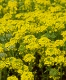 Alyssum 'Mountain Gold'