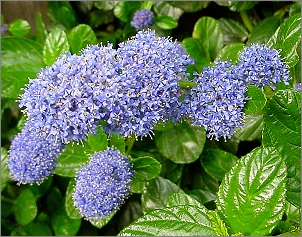 Plants in my basingstoke garden small fragrant white flowers ceanothus mightylinksfo