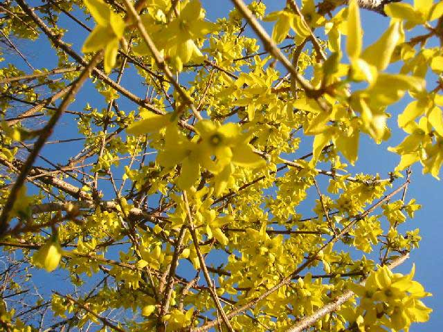 Plants in my basingstoke garden forsythia forsythia golden bell bush mightylinksfo